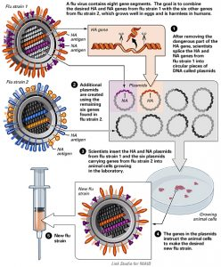 Scientific chart describing creation of a new flu strain for flu vaccine via cell line.