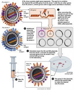 Scientific chart describing creation of a new flu strain for flu vaccine via cell line.